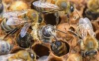 Minister životného prostredia chce vyhlásiť včely za chránené živočíchy. Dostaneš pokutu, ak jednu zabiješ?