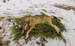 Ministerstvo zastavilo lov vlka, prechádzala tomu státisícová petícia a protesty ochranárov