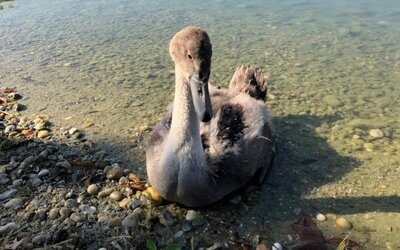 Mladá labuť v Bratislave zrejme uhynula na infekciu, jej otca a súrodenca museli odchytiť