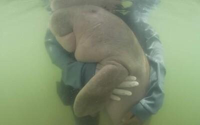 Mladučká samička dugonga zomrela po prehltnutí plastov. Ešte predtým sa stala hviezdou internetu