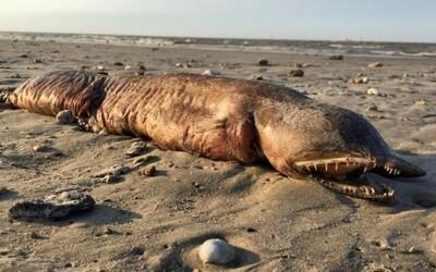Mnoho zubů a podlouhlé tělo. Po hurikánu se na pláži v Texasu objevilo vyplavené tělo zvláštního živočicha