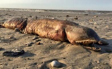 Množstvo zubov a podlhovasté telo. Po hurikáne sa na pláži v Texase objavilo vyplavené telo zvláštneho živočícha