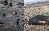 More vyplavilo 13 mŕtvych tuleňov, ktorým rybári odrezali hlavy po tom, čo ich zastrelili