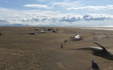 More vyplavilo na islandskú pláž desiatky mŕtvych veľrýb