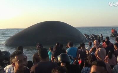 More vyplavilo najväčšieho živočícha, aký kedy žil na Zemi. Indonézania ho pochovali do piesku