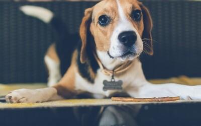 Mozgy psov sa prispôsobili ľudským potrebám, ukazuje nový výskum