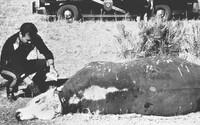 Mrzačenie dobytka zostáva dodnes jednou z najväčších nevyriešených záhad. Kto je za útoky zodpovedný?