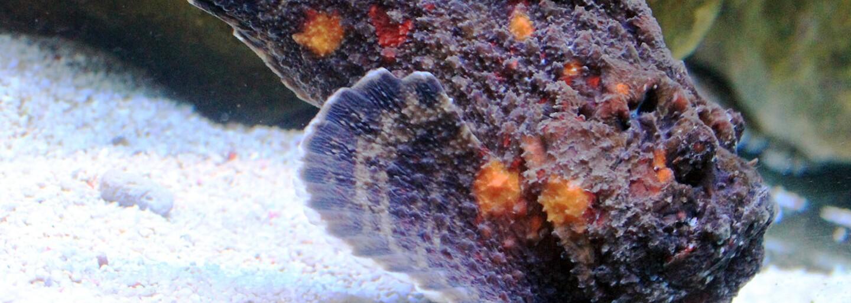 Mučivé bolesti a někdy i smrt. Zákeřná ryba se tváří jako kámen, kdo však na ni omylem šlápne, má problém