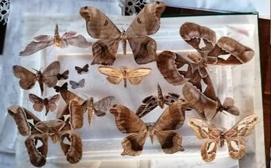 Muž prodával kriticky ohrožené druhy motýlů. Zřejmě si tak přišel na miliony korun