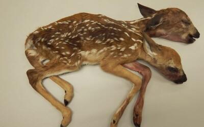 Muž šel na houby, místo nich v lese objevil extrémně vzácného, dvouhlavého jelena