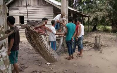 Muž skoro prišiel o život v súboji s takmer 8-metrovým pytónom. Dedinčania potom hada ako pomstu nakrájali a uvarili
