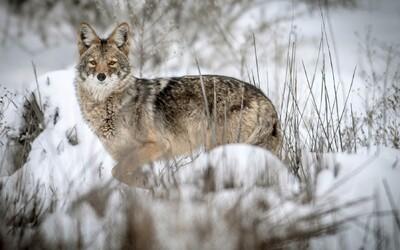 Muž vlastnými rukami udusil kojota, ktorý zaútočil na jeho 2-ročného syna
