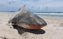 Na austrálskej pláži vyplavilo polovicu žraloka. Pravdepodobne bol potravou väčšieho predátora