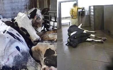 Na bitúnku porcujú choré zvieratá, mäso posielajú do obchodov. Hovädzie z Poľska radšej nejedz