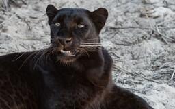 Na dokonalou fotku čekal skoro týden. Podařil se mu ohromující záběr leoparda a černého pantera