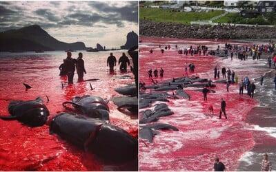 Na Faerských ostrovech se moře zalilo krví zabitých velryb. Krutý lov je každoroční tradicí