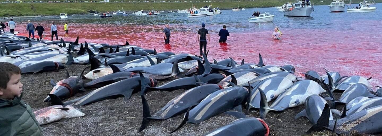 Na Faerských ostrovoch na smrť dobodali 1 428 delfínov v plytkej vode. Hrozivá tradícia znovu vyvolala vlnu kritiky