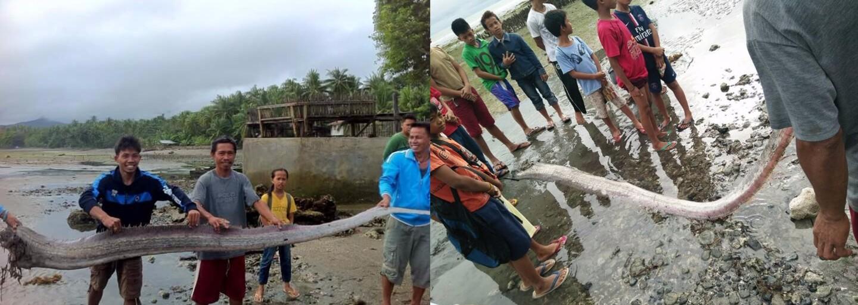 Na hladinu zřejmě vypluje tehdy, když tuší, že umírá. U Filipín se objevila nejdelší tajemná ryba, kterou jsme objevili až v roce 1772