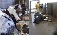 Na jatkách porcují nemocná zvířata, maso posílají do obchodů. Hovězí z Polska raději nejez