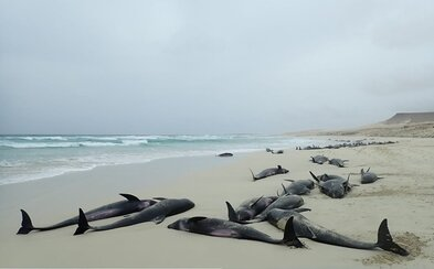 Na Kapverdách moře vyplavilo 136 uhynulých delfínů