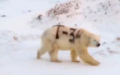 Na ľadového medveďa v Rusku niekto nasprejoval nápis T-34. Zviera zrejme neprežije