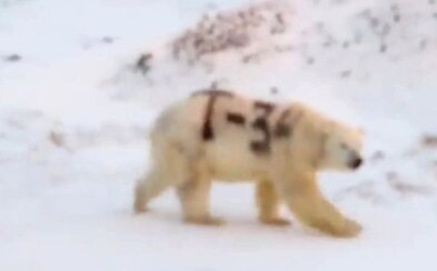 Na ledního medvěda v Rusku někdo nasprejoval nápis T-34. Zvíře zřejmě nepřežije