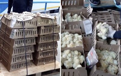 Na letisku v Madrie zahynulo 23-tisíc kuriatok. Nechali ich v sklade niekoľko dní bez jedla a vody