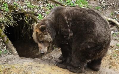 Na Liptove našli mŕtve telo muža, ktorého zrejme zabil medveď. Podľa lesníkov ide o historicky prvý prípad