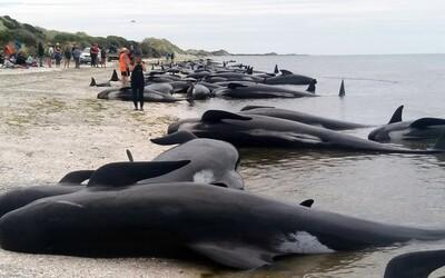 Na novozélandské pláži uvízly stovky velryb. Lidé jim mají raději pomáhat, než jít do práce či školy