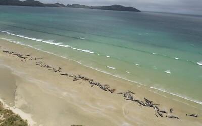 Na novozélandské pláži zahynulo neuvěřitelných 145 velryb, pomoci jim nedokázali ani ochranáři