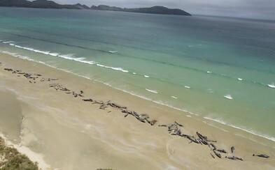 Na novozélandskej pláži zahynulo neuveriteľných 145 veľrýb, pomôcť im nedokázali ani ochranári