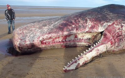 Na pláži našli mrtvého vorvaně. V jeho střevech bylo 29 kilogramů plastového odpadu