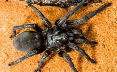 Na severu Austrálie objevili 50 nových druhů pavouků. Tančí, jsou jedovatí a dokáží lézt i kolmo po skle