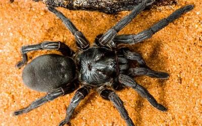 Na severe Austrálie objavili 50 nových druhov pavúkov. Tancujú, sú jedovaté a dokážu liezť aj kolmo po skle