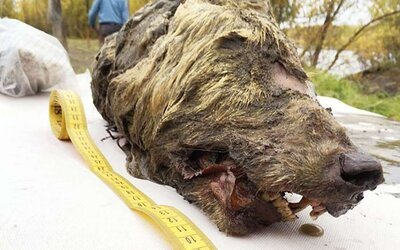 Na Sibíri našli zakonzervovanú hlavu prehistorického vlka starého viac ako 40-tisíc rokov