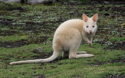 Na slovenskom ranči pytliak zabil mláďa klokana bieleho, odrezal mu hlavu aj nohy a telíčko nechal len tak pohodené