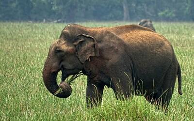 Na Srí Lance zahynulo rekordních 361 slonů. Nejvíce jich zabil člověk