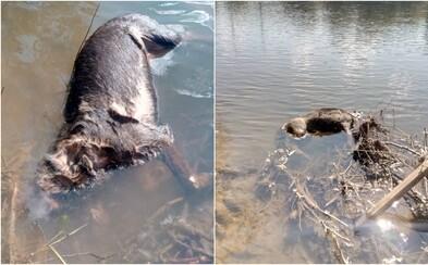 Na strednom Slovensku niekto kruto zastrelil psíka a hodil ho do rieky. Pred ohavným činom mu ešte odrezal uši