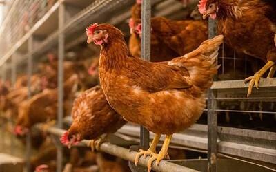 Na východe Slovenska sa začali sliepky žrať medzi sebou. Kanibalizmus nastal po tom, čo im majiteľ nedal jesť 10 dní