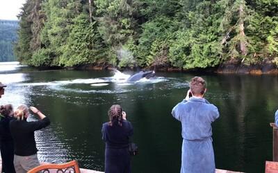 Nádherné veľryby priplávali priamo do kanadskej zátoky pred hotel. Hostia len nechápavo pozerali na majestátne prírodné divadlo