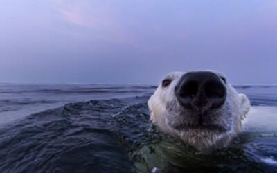Nádherné zábery ľadových medveďov plávajúcich v mori