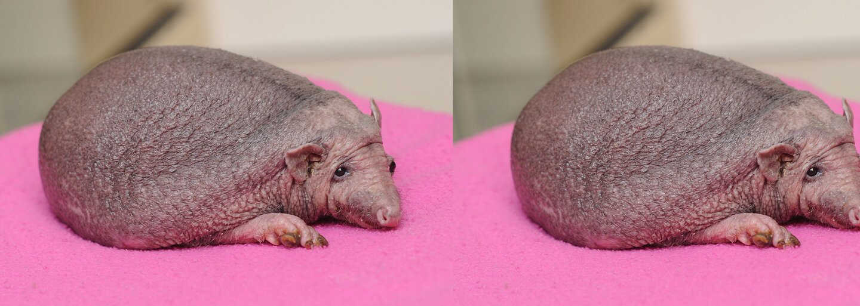 Nejroztomilejší ježek Nelson se narodil bez bodlin. Denně dostává masáže a miluje i škrabkání