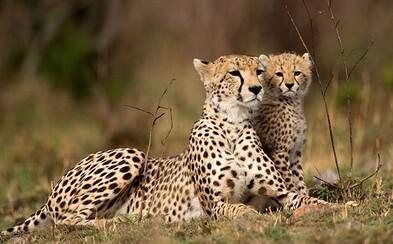 Najrýchlejšie cicavce na svete smerujú k vyhynutiu. Gepardov je vo voľnej prírode už len okolo 7100