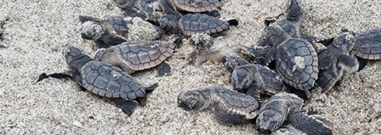 Najšpinavšiu pláž na svete vyčistili, vrátili sa aj rozkošné korytnačky. V Indii odviezli 50 000 ton odpadu