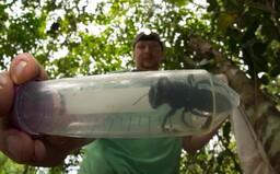 Největší včelu na světě chytili výzkumníci po 38 letech