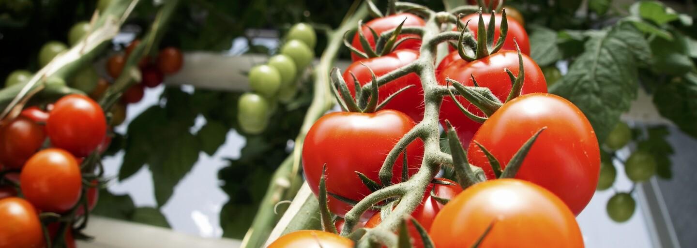 Navštívili sme najnovšiu farmu rajčín na Slovensku. Družstvo si zakladá na čerstvosti, zrelosti a kvalite plodov