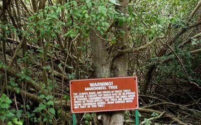 """Nebezpečný strom, ktorý zabíja dotykom. Pod """"Stromom smrti"""" je nebezpečné čo i len stáť"""