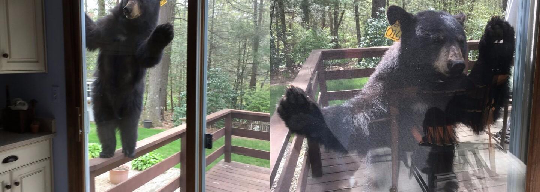 Nebojácny medveď sa stal hviezdou internetu. Chcel sa vlámať do domu, keď zacítil koláčiky, ale našťastie to zasúvacie dvere vydržali