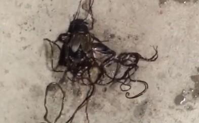 Nechutné parazity vyliezajúce z mŕtveho svrčka, ktorého predtým úplne ovládli. Chceli ho prinútiť spáchať samovraždu