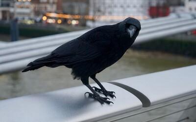 Nedopalky v ulicích by mohly sbírat vycvičené vrány. Nizozemský startup nabízí netradiční řešení úklidu měst